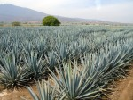 agave-tequilana